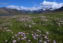 야생화 천국 아이슬란드