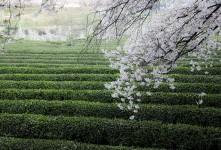 화개장터 녹차밭과 벚꽃(하동)