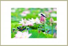 제비와 연꽃