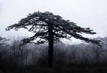 황산 소나무....
