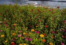 장성 노란꽃 축제.